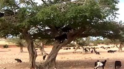الماعز تتسلق شجرة أرجان في المغرب